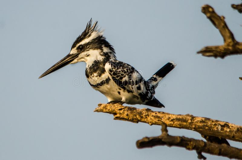 Pied Kingfisher - Birds of Pakistan. The pied kingfisher is a water kingfisher and is found widely distributed across Africa and Asia. Its black and white stock photography