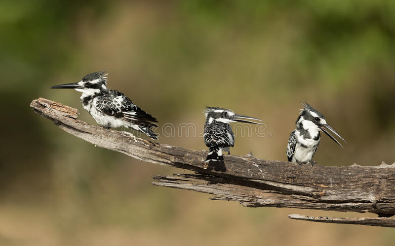 Pied Kingfishers, Chobe River, Botswana stock photography