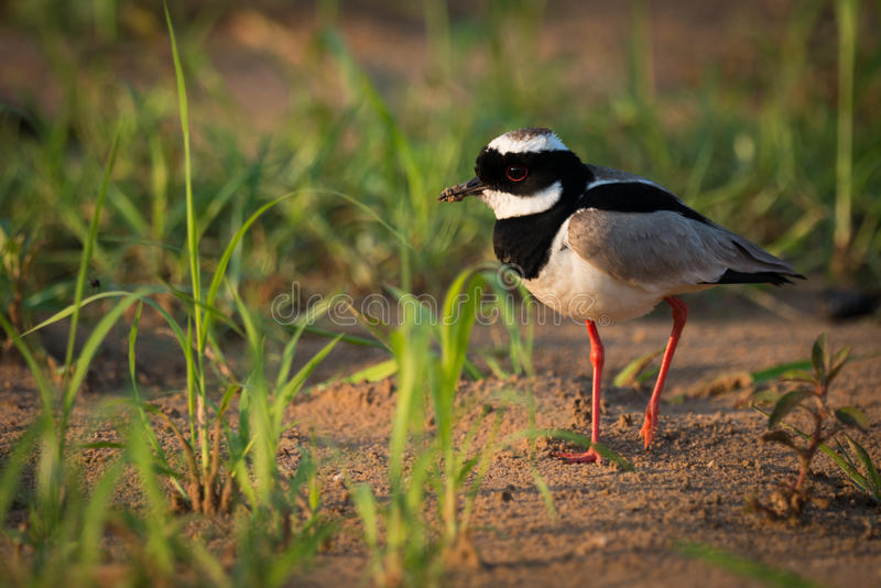 Pied plover walking through grass on beach royalty free stock photo