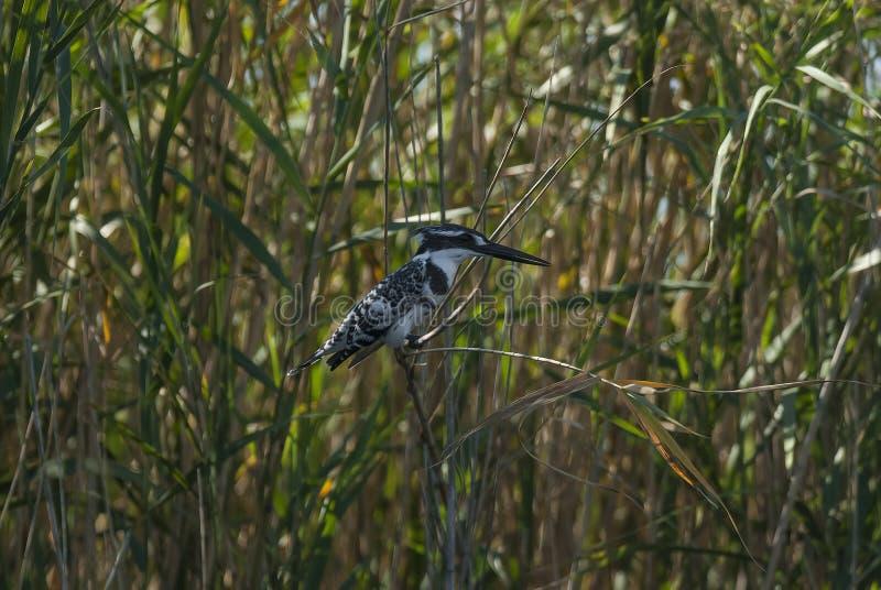pied s?der f?r africa kingfisher arkivfoton