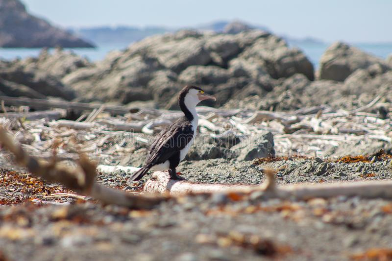 Pied Shag on a beach near Kaikoura stock images