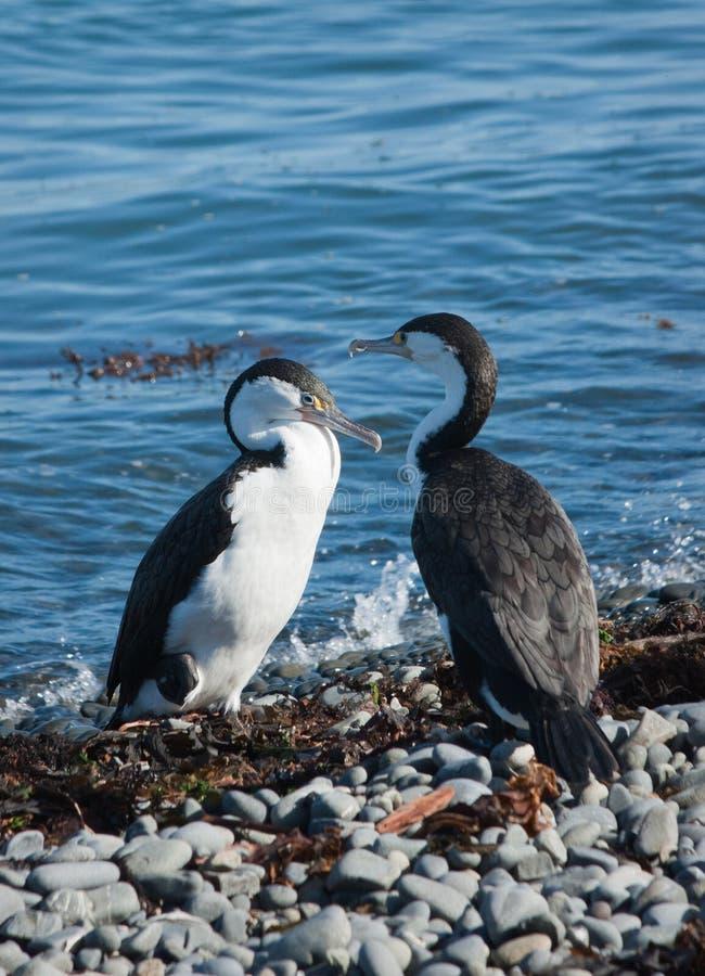 Pied Shag Birds royalty free stock photos