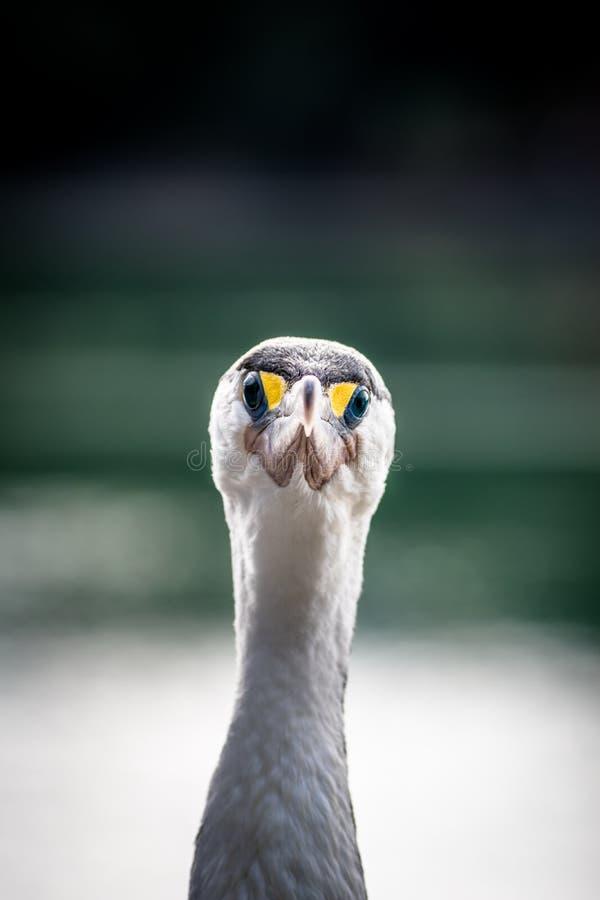 Pied Shag - Cormorant stock images