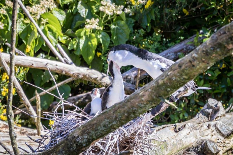 Pied Shag Feeds Chicks stock photography