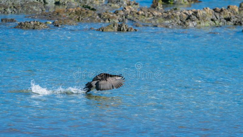 Pied shag leaves splashed water in trail as it takes-off royalty free stock photography