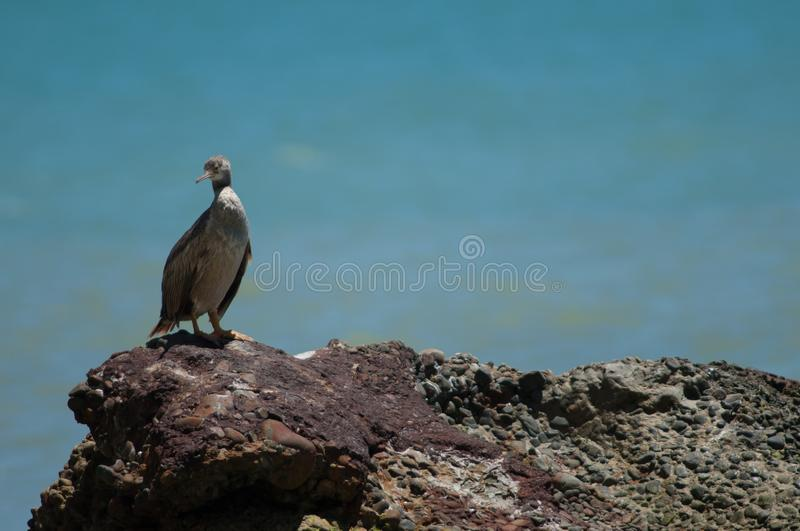 Pied shag. royalty free stock images