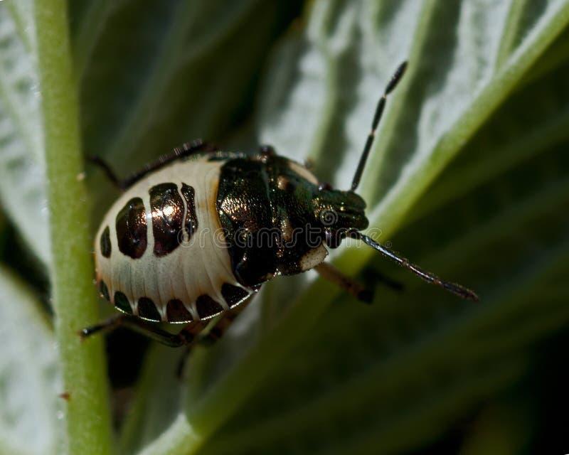 Pied Shieldbug Tritomegas bicolor zdjęcia royalty free