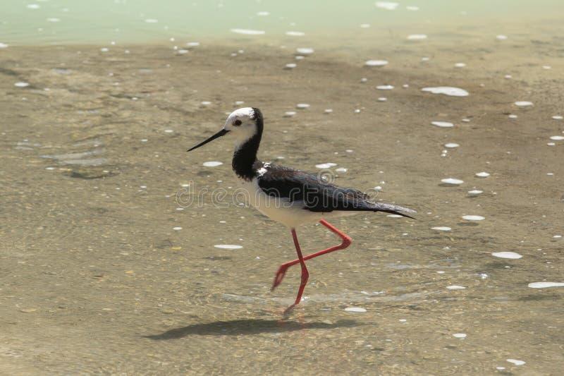 Pied stilt, delikatny waterbird przy jeziorną ` s krawędzią, zdjęcie royalty free
