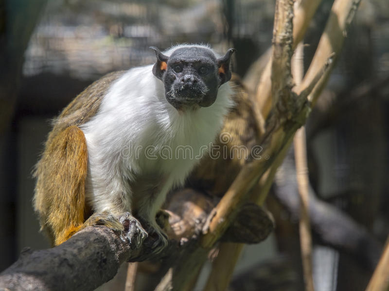 Pied tamarin (Saguinus bicolor) royalty free stock images