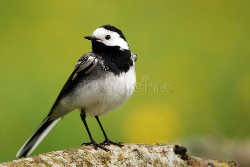 Pied Wagtail. White Wagtail portrait and green background royalty free stock images