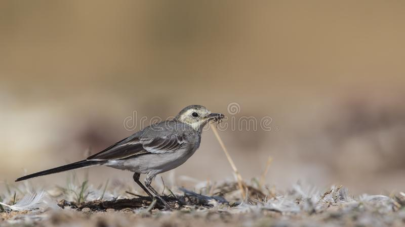 Pied Wagtail Eating Fly. Pied wagtail, Motacilla alba, is eating a fly royalty free stock image
