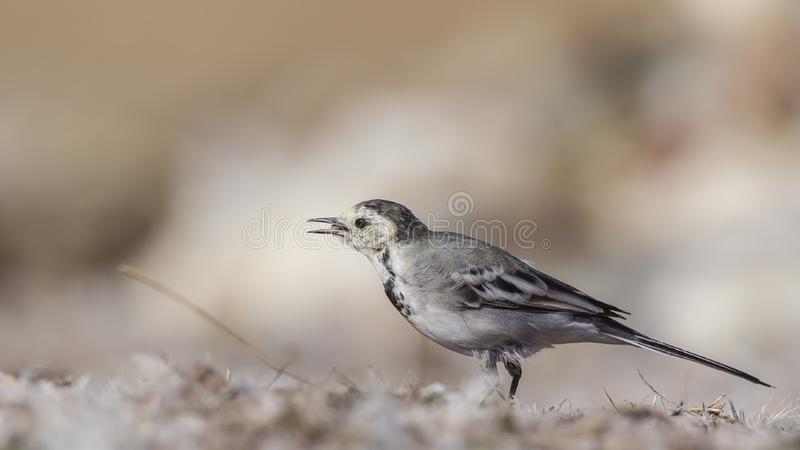 Pied Wagtail on Field. Pied wagtail, Motacilla alba, is wandering on ground royalty free stock images