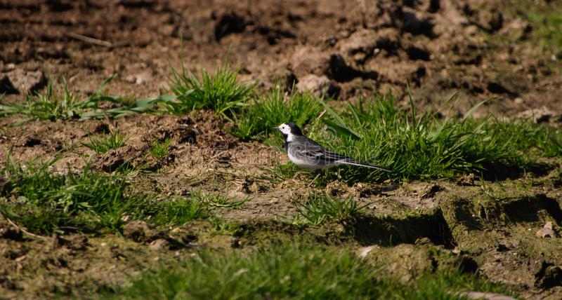 Motacilla alba or Pied Wagtail. Pied Wagtail foraging on an arable field headland during early spring in the UK royalty free stock photo