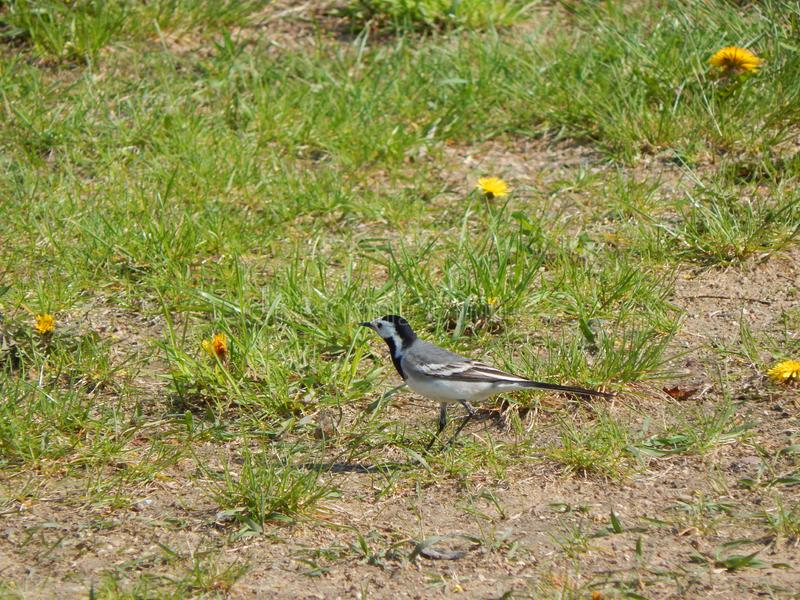 Pied wagtail in grass Minsk district, Belarus.  stock images