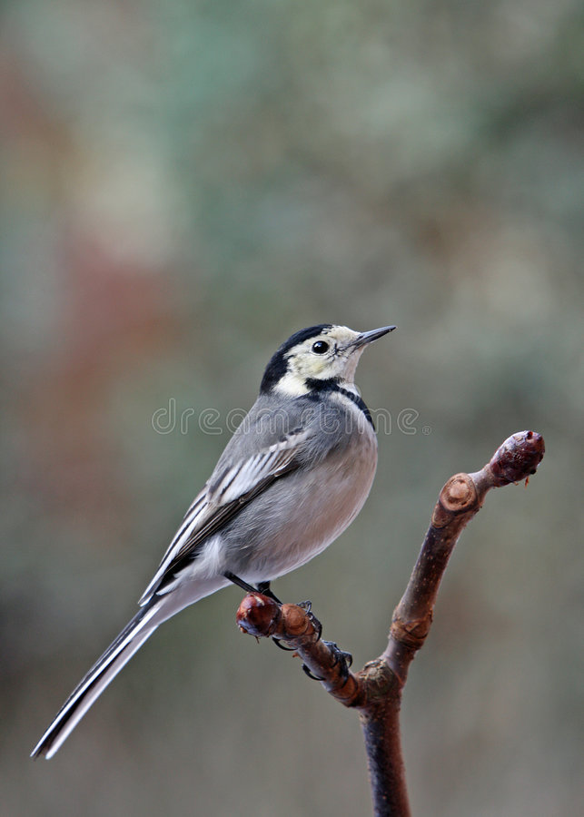 Pied Wagtail - Motacilla alba. A Pied Wagtail - Motacilla alba - perched on a Horse Chestnut branch royalty free stock images