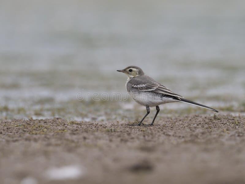 Pied wagtail, Motacilla alba. Immature bird on mud, Warwickshire, June 2017 stock image