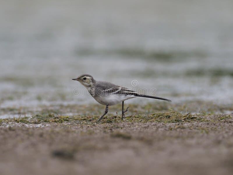 Pied wagtail, Motacilla alba. Immature bird on mud, Warwickshire, June 2017 royalty free stock photos