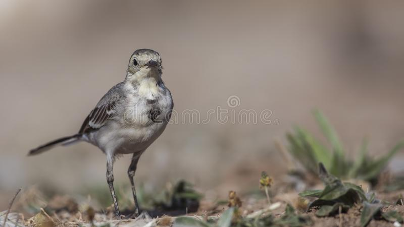 Pied Wagtail on Ground. Pied wagtail, Motacilla alba, is looking at the camera stock images