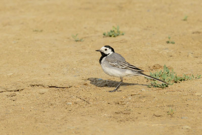 Pied wagtail (motacilla alba). Looking for insects royalty free stock image