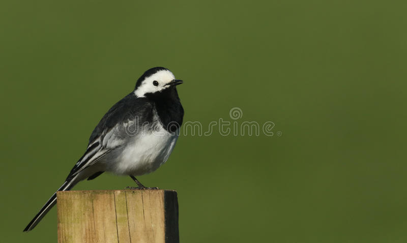 A Pied Wagtail Motacilla alba perched on a post. A pretty Pied Wagtail Motacilla alba perched on a post royalty free stock photos