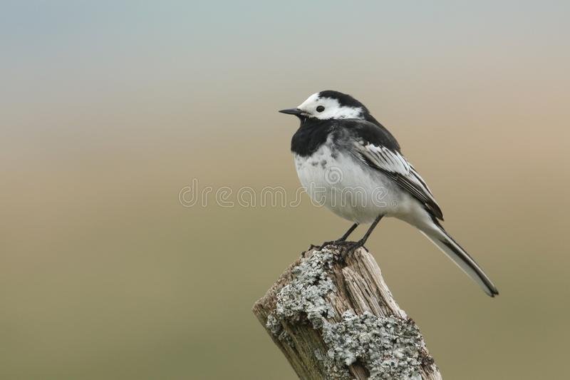 A Pied Wagtail, Motacilla alba, perching on a lichen covered post. A beautiful Pied Wagtail, Motacilla alba, perching on a lichen covered post stock images