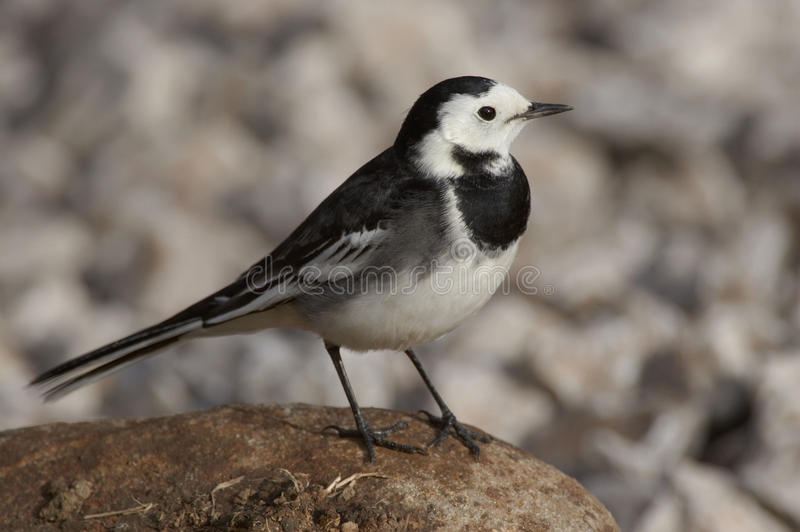 Pied Wagtail - Motacilla alba. Pied wagtail on a rock royalty free stock images