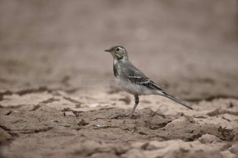 Pied wagtail, Motacilla alba. Single young bird on mud, Warwickshire, July 2015 stock images