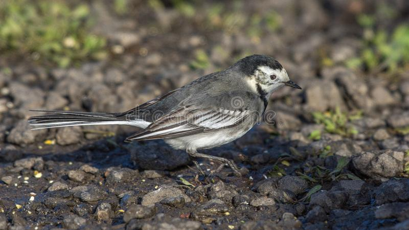 Pied Wagtail. The Pied wagtail Motacilla alba is a small passerine bird in the family Motacillidae royalty free stock image