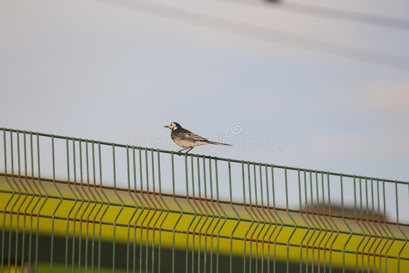 Pied Wagtail (Motacilla alba). Spotted in Dublin, Ireland royalty free stock photography
