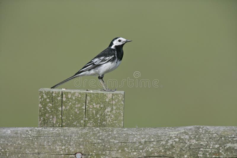 Pied wagtail, Motacilla alba yarrelli. Single bird on fence, Staffordshire, UK stock image