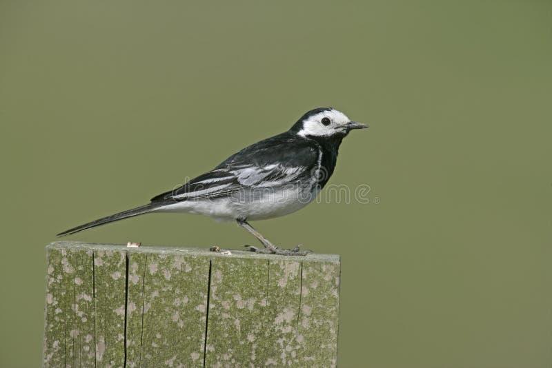 Pied wagtail, Motacilla alba yarrelli. Single bird on fence, Staffordshire, UK royalty free stock images