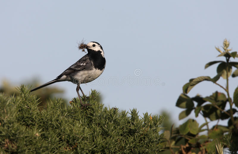 Pied wagtail, Motacilla alba yarrellii. With food stock images