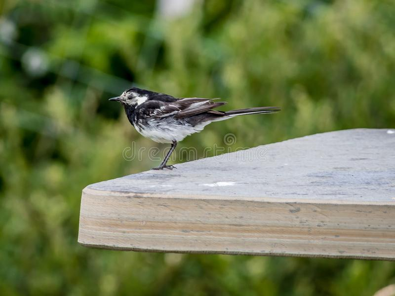 A pied wagtail Motacilla alba yarrellii. Sitting on a bench royalty free stock images