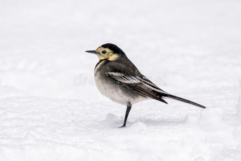 Pied Wagtail - Motacilla alba yarrellii resting on the snow. A charming bird, the Pied Wagtail - Motacilla alba yarrellii resting on the snow in late autumn stock images