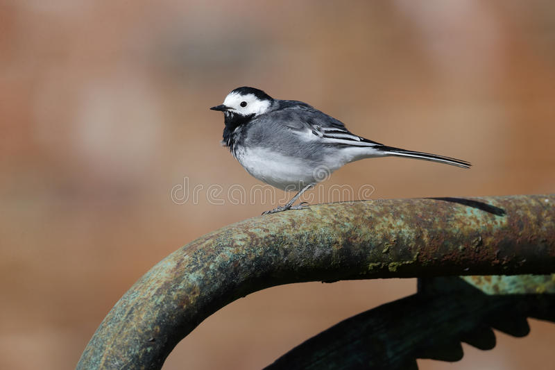 Pied wagtail, Motacilla alba yarrellii. Single bird on gate Wiltshire, March 2014 royalty free stock images