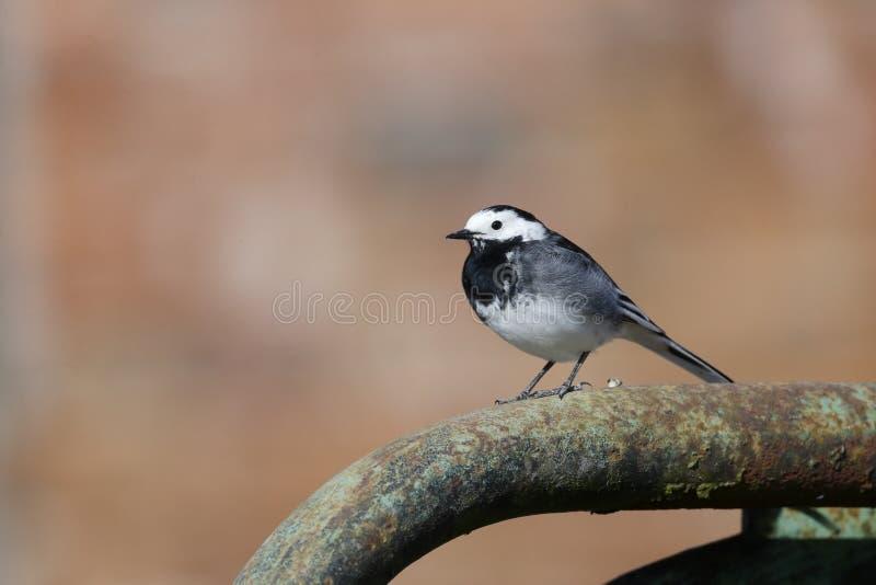 Pied wagtail, Motacilla alba yarrellii. Single bird on gate Wiltshire, March 2014 stock photo