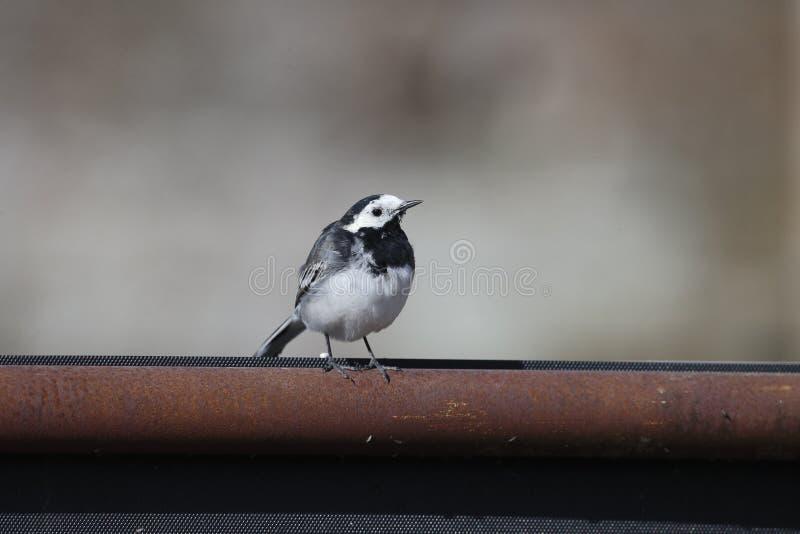 Pied wagtail, Motacilla alba yarrellii. Single bird on gate Wiltshire, March 2014 royalty free stock photo