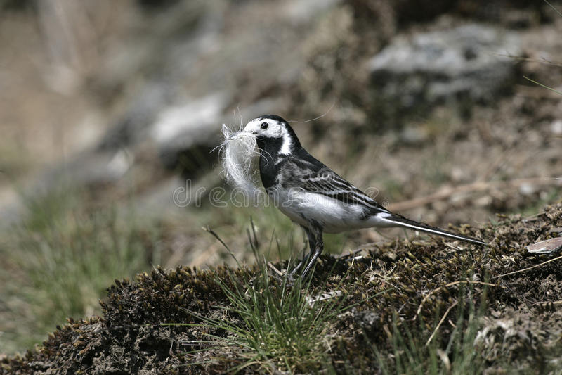 Pied wagtail, Motacilla alba yarrellii,. Single bird with nest material, Wales royalty free stock photo