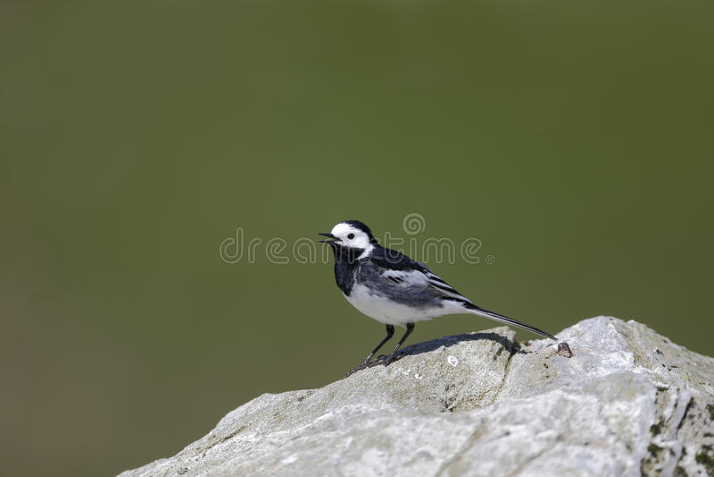 Pied wagtail, Motacilla alba yarrellii. Single bird on rock, Highlands, Scotland, May 2014 royalty free stock image