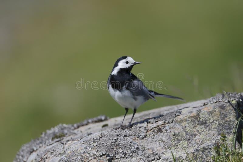Pied wagtail, Motacilla alba yarrellii. Single bird on rock, Highlands, Scotland, May 2014 stock image