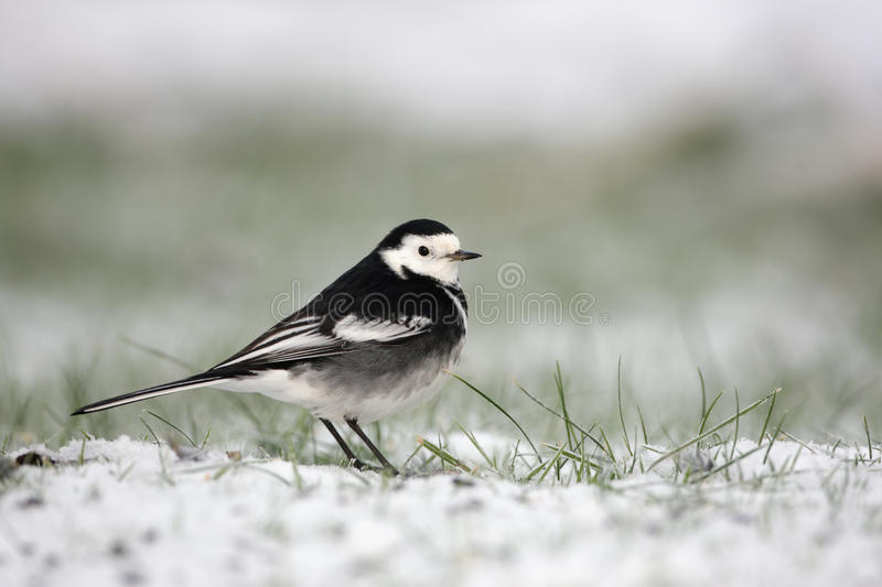 Pied wagtail, Motacilla alba yarrellii. A single bird standing in snow stock images