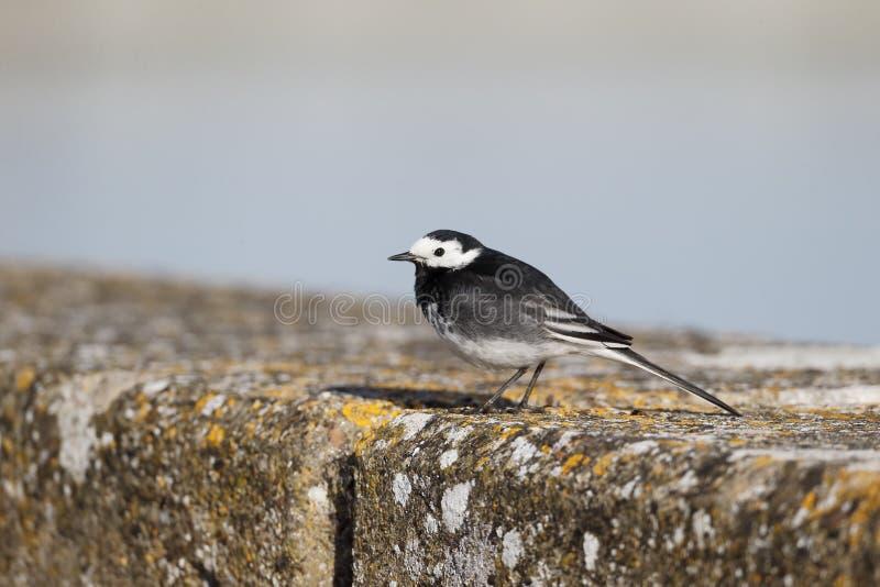 Pied wagtail, Motacilla alba yarrellii,. Single bird on wall, Warwickshire, April 2014 royalty free stock image