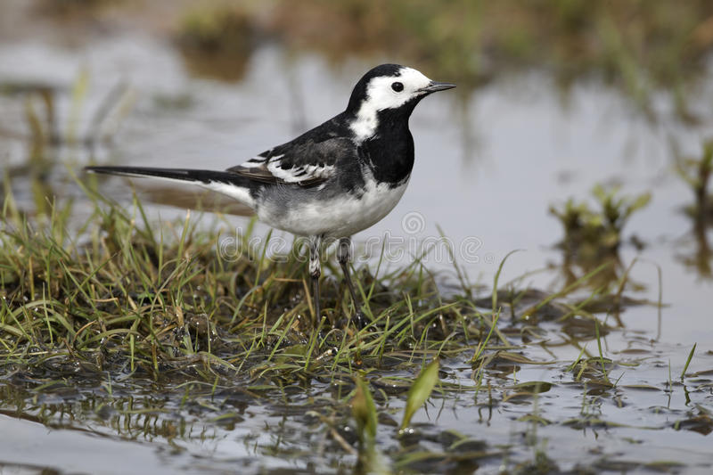 Pied wagtail, Motacilla alba yarrellii. Single bird by water, Midlands, April 2011 royalty free stock photography