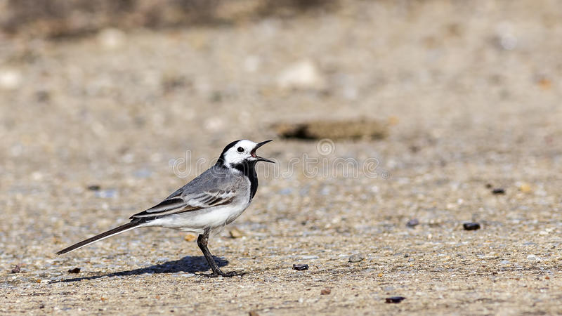 Pied Wagtail on Road. A pied wagtail (Motacilla alba) is singing on the road stock image