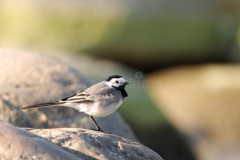 Pied Wagtail. On a boulder on the beach royalty free stock photo