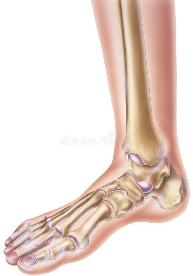 Piede & caviglia - mostrare le ossa e le articolazioni fotografie stock libere da diritti