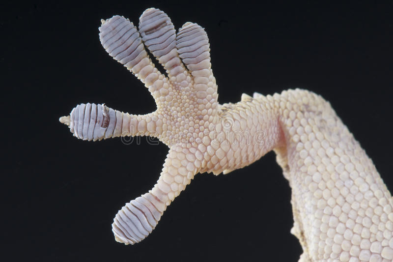 Piede del Gecko fotografie stock