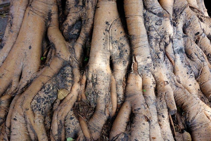 Piede dell'albero sacro antico dell'India fotografia stock