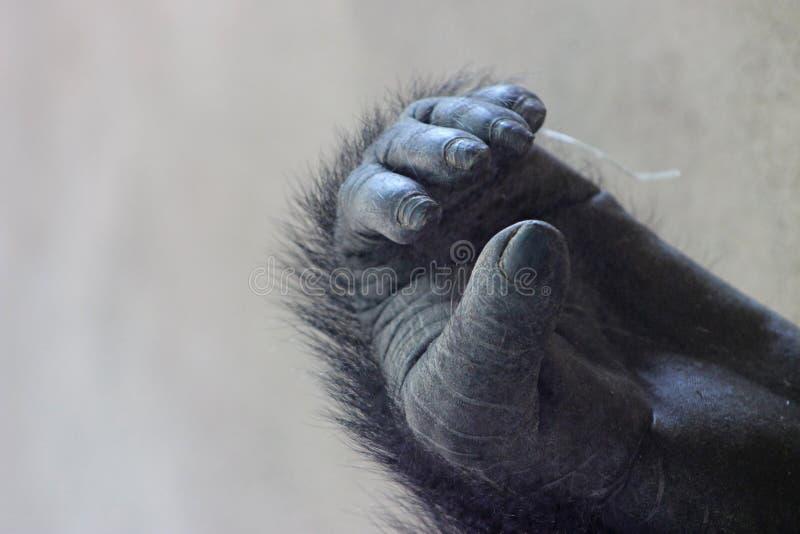Piede della gorilla di pianura occidentale immagini stock