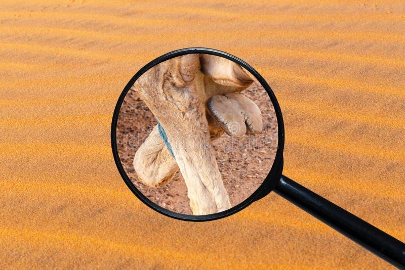 Piede di un cammello fotografie stock libere da diritti